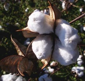 Gossypium Hirsutum Cotten Plant